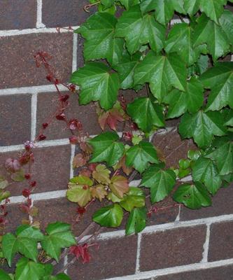 Free Virginia creeper vine - Totally Free