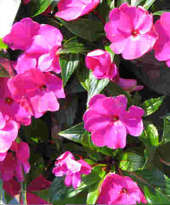 Free new guinea impatiens totally free New guinea impatiens