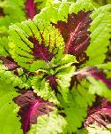 Coleus, shade-loving with veined pattern