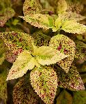 Coleus, sun-loving with splotched leaf