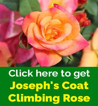 Free Joseph's Coat Climbing Rose