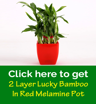 Free 2 Layer Lucky Bamboo In Red Melamine Pot